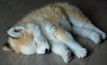 Husky/Golden Retriever Mix. Give me it!
