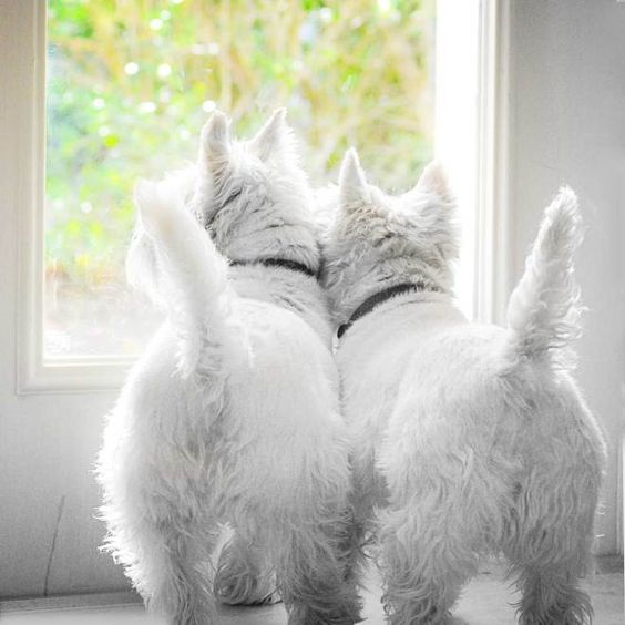 i can't imagine a house without a WESTIE!!!!
