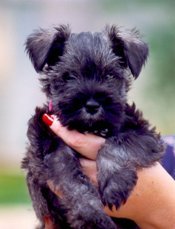 I can't wait till we get our little miniture schnauzer puppy!