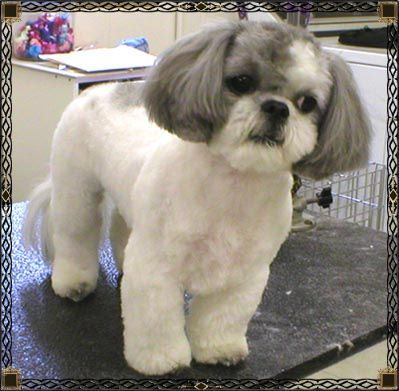 I keep all of my shih tzus trimmed high and tight. No seriously, they have hair, not fur, and keeping it long is insanity unless it's show dog. The cut on the face, I call a 'puppy cut'; short ears and beard.
