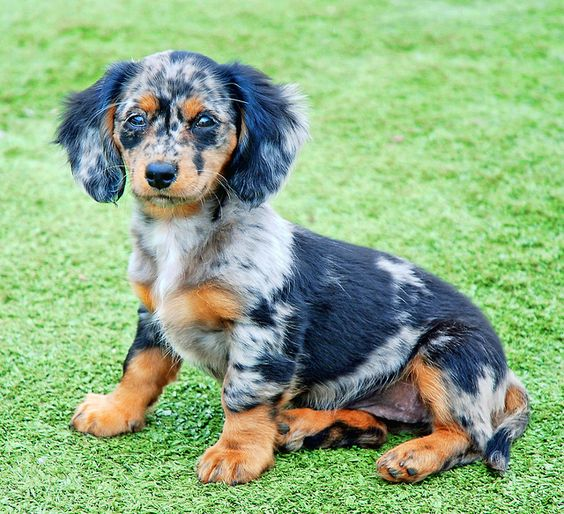 I love this color of this puppy.  Dapple Doxie by Doxieone, via Flickr