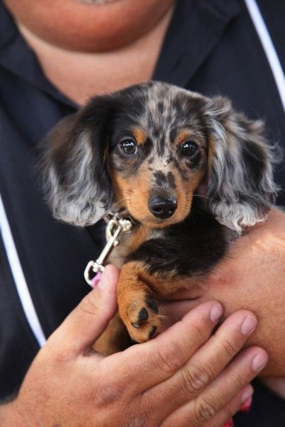 i need this little one! doxie