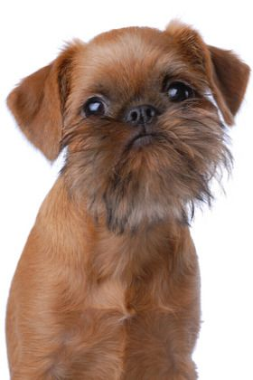 I reeeeeally want our next baby to be a Brussels Griffon! Eric is slowly coming  using the angle that its a dog with a beard!