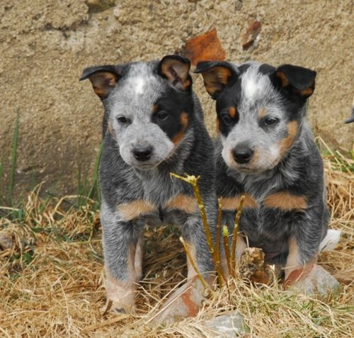 I want these too!! Australian cattle dog pups ♥