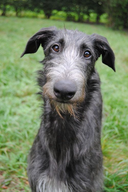 I will have an Irish wolfhound in my life.