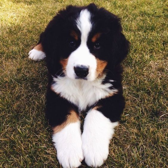 If I ever have to make a choice between my fertility and having a Bernese Mountain Dog puppy there would be no contest.
