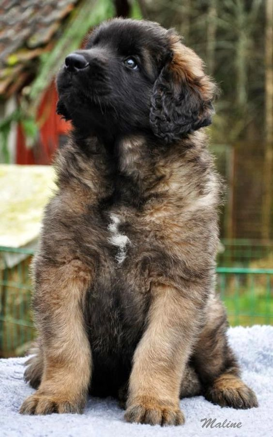 If you do not have a Leonberger in your  feel sorry for you.