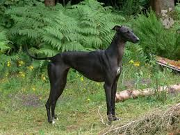 Image result for photos of greyhounds