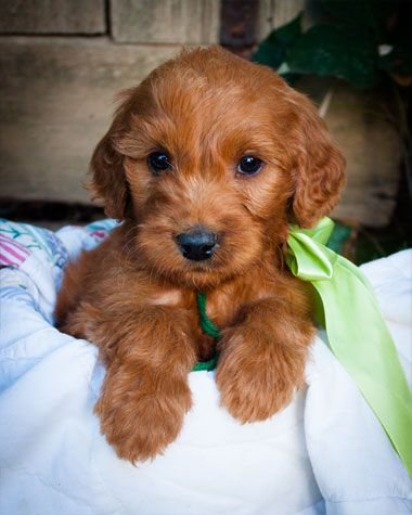 Irish Doodle Puppy for Sale