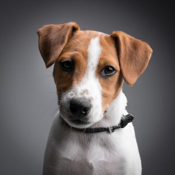 Jack russell terrier. I'm in love with these eyes!