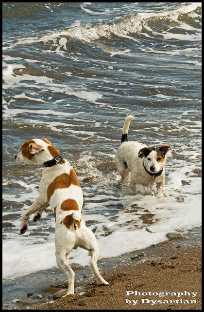 Jack Russells or Splash Russells? by Dysartian, via Flickr