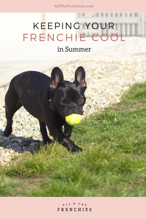 Keeping your French Bulldog cool in Summer (so important with a breed prone to overheating!)