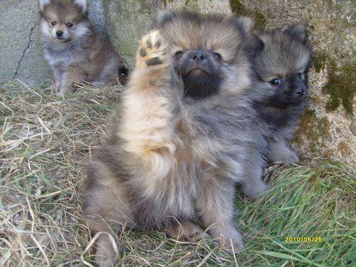 Keeshond puppies! Love!