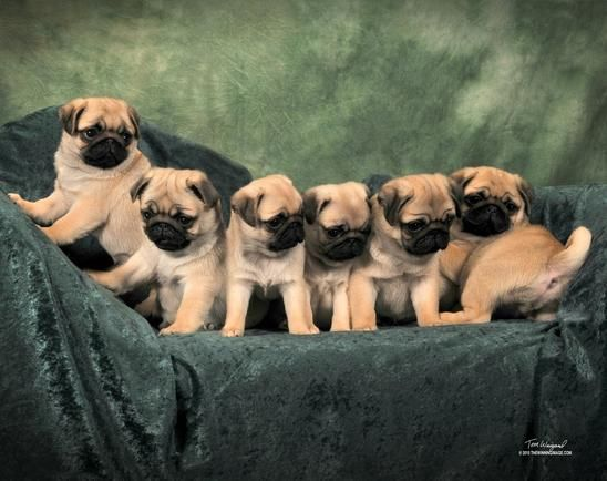 Kelz Pugz - Pug Puppies For Sale, Pug Stud Service, Black Pug Puppies