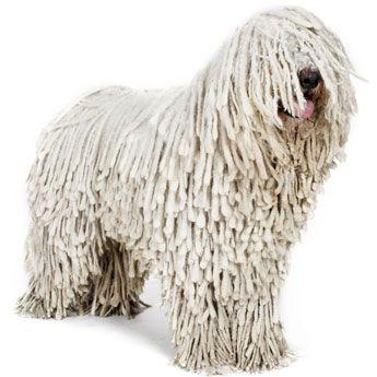 Komondor Dog.  Looks more like a bunch of rags!