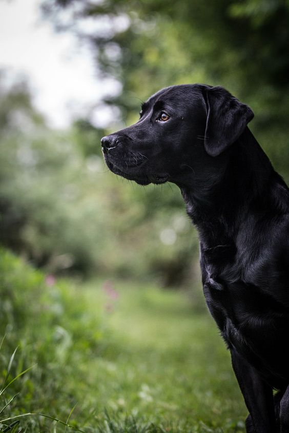 Labrador. By sanneammitzbøll.