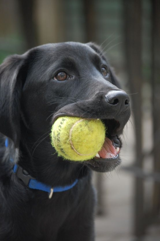 labrador retriever & tennis ball