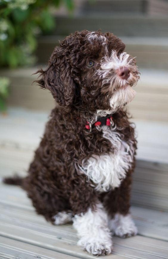 Lagotto romagnolo puppy Tosca 10 weeks old.