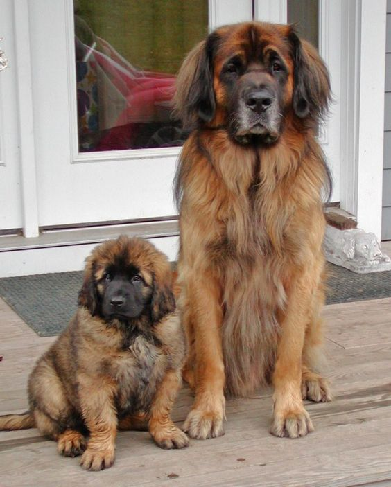 Leonbergers look at them how much does that puppy weigh  looked into getting one of these, very hard to find!! Instead we are getting a Bernese- this weekend!!!!!