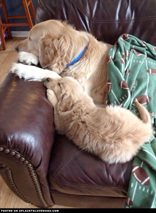 Like Father Like Son Golden Retrievers - A Place To Love Dogs