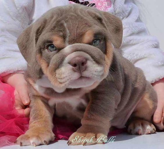 lilac tri color akc english bulldog puppy omg! I need this puppy!