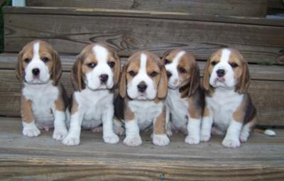 litter of Beagle puppies