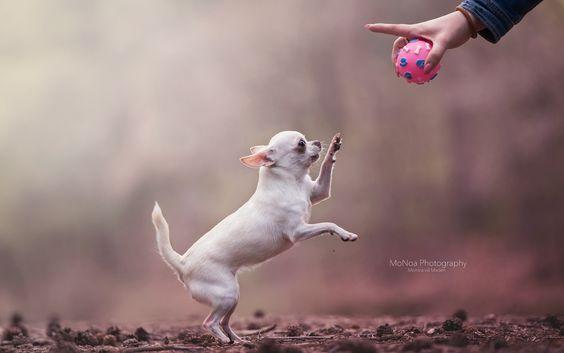 Little Chihuahua by Monica van der Maden