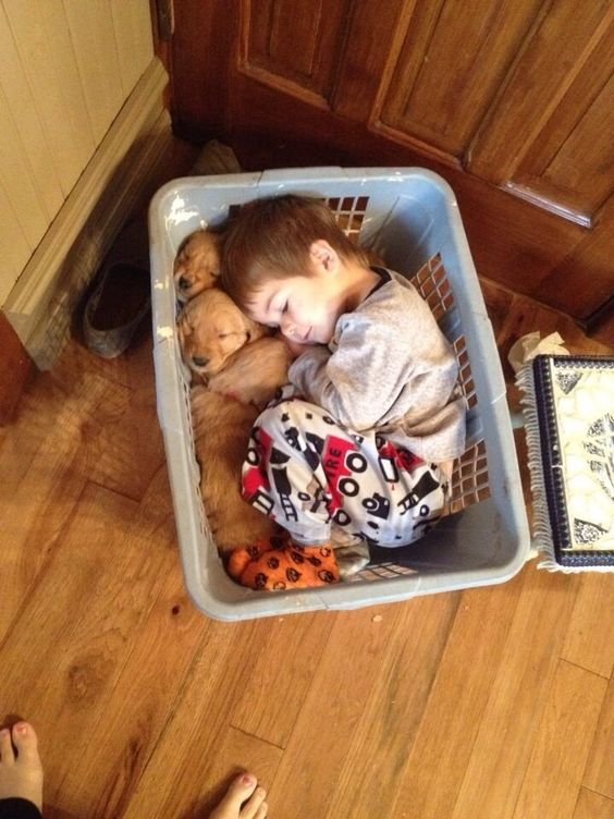 Little guy fell asleep in a basket with his golden retriever puppies