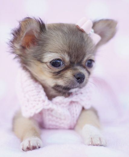 Long Haired Chihuahua - I'm not for dressing dogs, but this is just too cute for words.