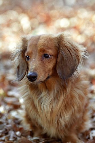long-haired doxie