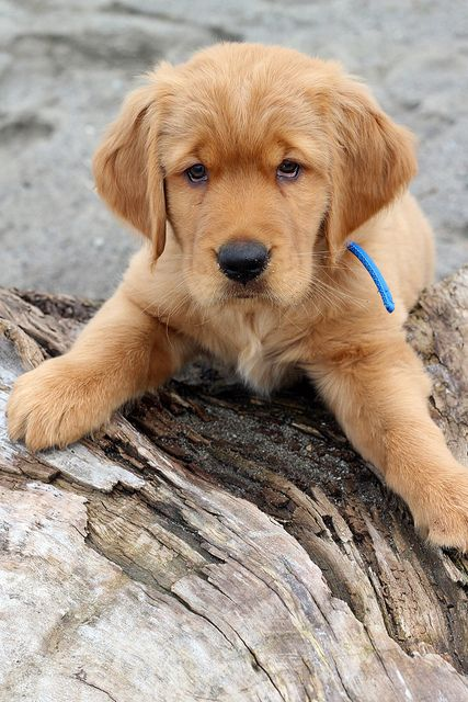 Look at that face!! #Golden #Retriever