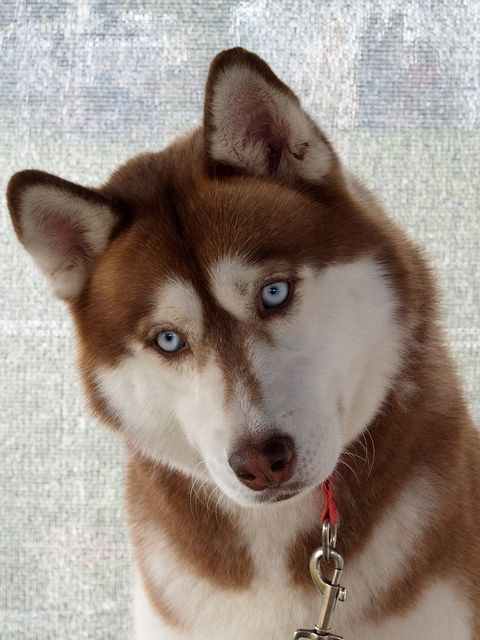Love red huskies !