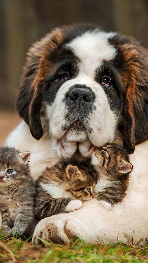 Love ~ St. Bernard and kittens.