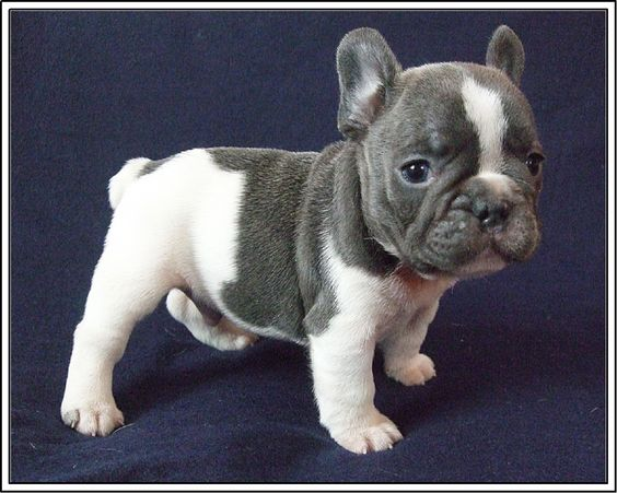 Love this baby Frenchie!