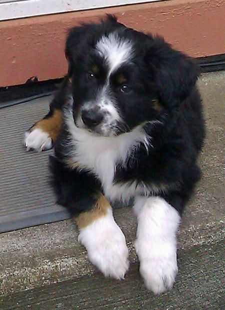 Luke the Australian Shepherd