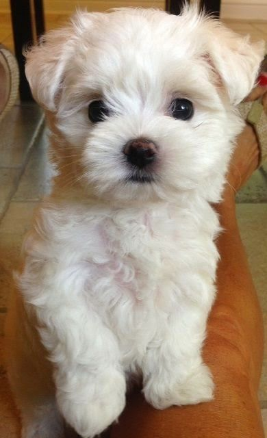 Maltese puppy, I LOVE this cut!!!