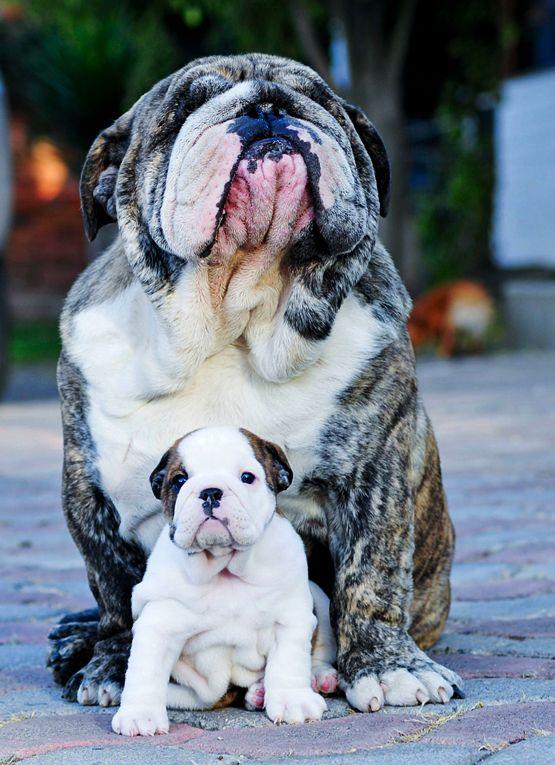 Mama and so adorable baby bulldog. ♥