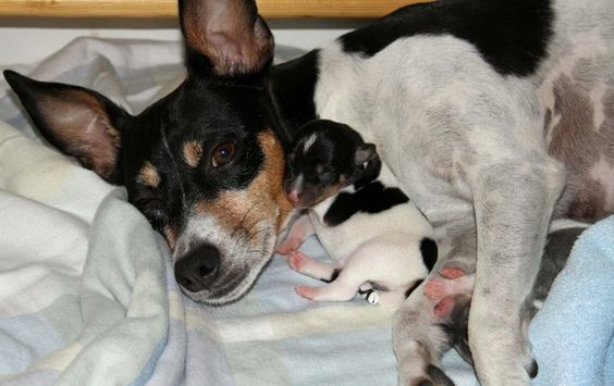 Mama Rat Terrier with Baby