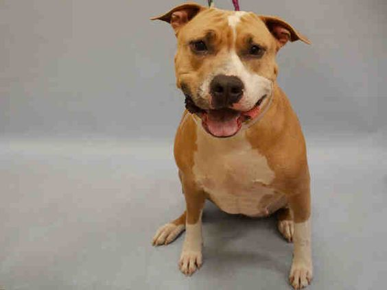 Manhattan Center My name is LAYLA. My Animal ID # is A1049899. I am a female tan and white american staff mix. The shelter thinks I am about 2 YEARS old. I came in the shelter as a STRAY on 08/31/2015 from NY 10461, owner surrender reason stated was ABANDON.