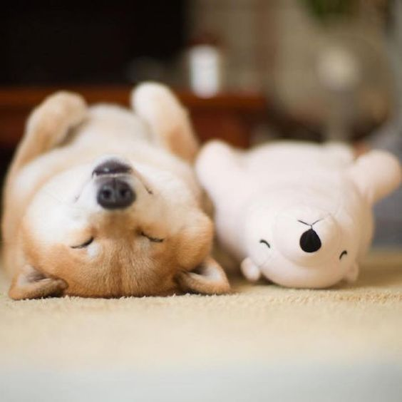 Maru the Shiba Inu Prefers to Sleep With His Stuffed Polar Bear - Neatorama