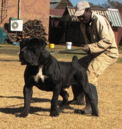 Massive black boerboel- beautiful dog.