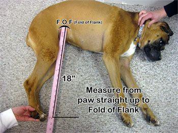 measuring for a dog wheelchair
