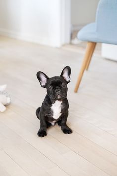 Meet Conrad The French Bulldog - Christina Greve