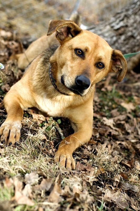 Meet Scooby a Petfinder adoptable Shepherd Dog | Pomeroy, OH | Shelter hours are between 8:30-11:00am, Monday through Saturday. Please call us at 740-992-3779,...
