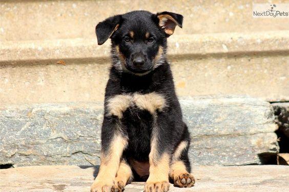 Meet Willow a cute German Shepherd puppy for sale for $650. Willow - German Shepherd Female