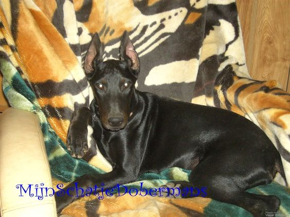 Melanistic Black Dobermans