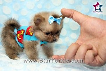 Micro Max - Micro Teacup Pomeranian Puppy