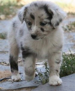 mini australian shepherd puppies - Google Search