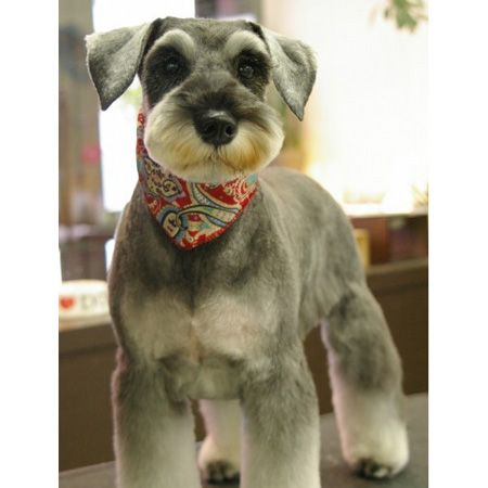 Mini Schnauzer haircut
