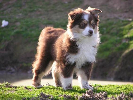 Miniature Australian Shepherd | CA Puppies | CA Mini Australian Shepherd Puppies | Australian Shepherd ...